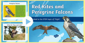 Red Kites and Peregrine Falcons PowerPoint - STEM, Thematic Units, flight, birds, Northern Ireland, birds of prey