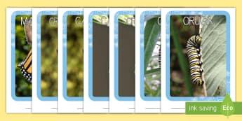 Fotografías del ciclo vital de la mariposa Fotos de exposición - metamorfosis, ciclo vital mariposa, mariposa, oruga, gusano, la pequeña oruga glotona, fotografías