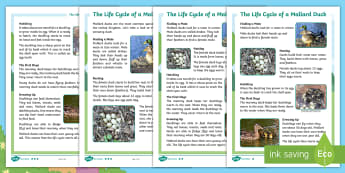 Brenda's Boring Egg: Life Cycle of a Duck Differentiated Fact File - twinkl originals, fiction, KS1, EYFS, Reading comprehension, non-fiction, animals