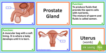 Ks2 science growth and reproduction resources sex parts of the human reproductive system find a friend activity ccuart Image collections
