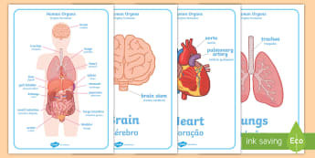 Human Body Organs Display Posters - English/Portuguese - Human Body Organs Display Posters - human body organs display posters, internal organs,  human, body