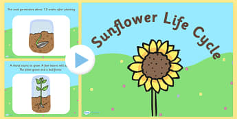 Sunflower Life Cycle PowerPoint - sunflower life cycle, sunflower life cycle powerpoint, sunflower powerpoint, life cycle of a sunflower powerpoint