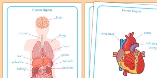 Human Body Organs Display Posters - human body organs display