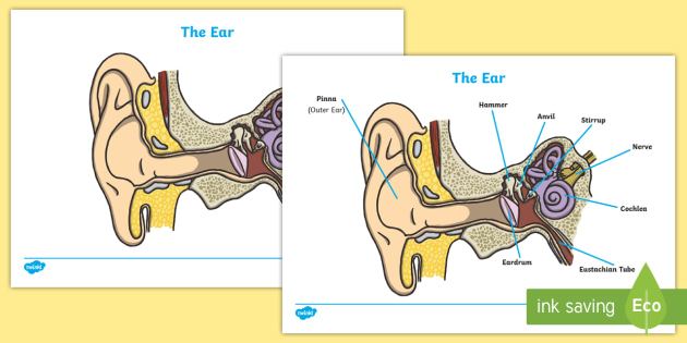 Ear worksheets ear biology worksheet how does the ear work ear diagram and labelling activity sheet ccuart Images