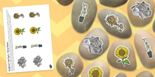 Life Cycle of a Sunflower Story Stone Image Cut Outs - story stone