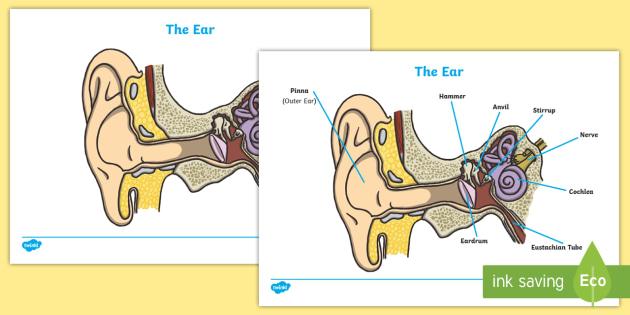 ear worksheets