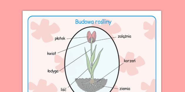 Plansza ze słownictwem Części rośliny po polsku - przyroda