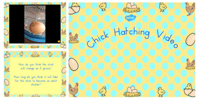 Chick Hatching Video PowerPoint - australia, chick, hatching