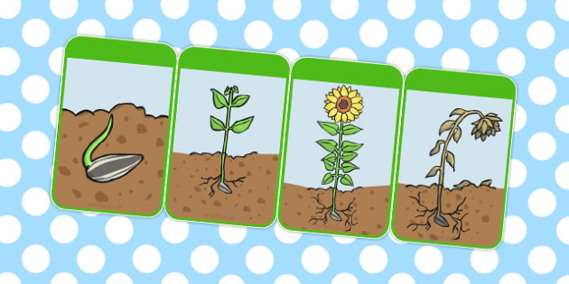 Sunflower Life Cycle Flashcards - australia, sunflower, lifecycle