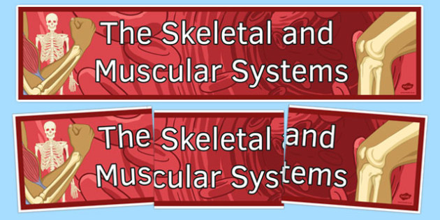 The Skeletal and Muscular Systems Display Banner - skeletal and muscular systems, skeletal, muscular, display banner, display, banner