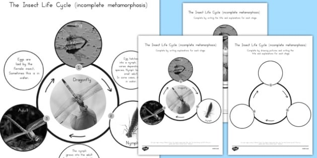Incomplete Metamorphosis Insect Life Cycle - science, animals, KS2, minibeasts, baby, grow, growth