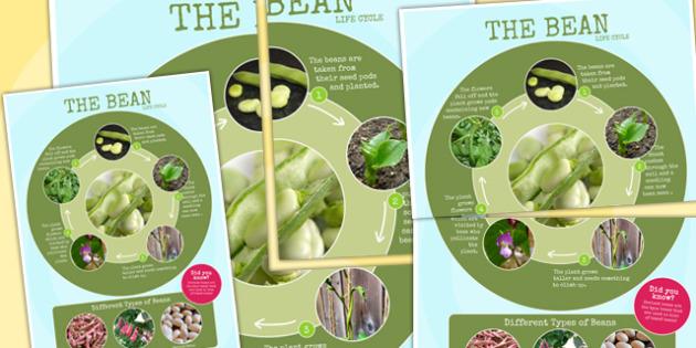 Bean Life Cycle Photo Large Display Poster - australia, life