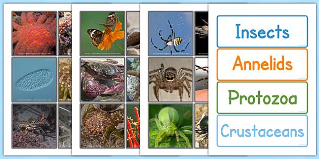 Invertebrate Sorting Cards - invertebrate, sorting, cards, sort
