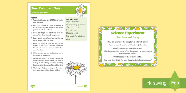 Two Coloured Daisy Science Experiment - water, growing, flowers, EYFS