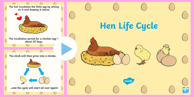 Chicken Life Cycle PowerPoint - chicken life cycle, chicken life