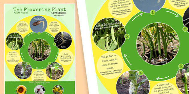 Flowering Plant Life Cycle Display Poster Romanian Translation - romanian, lifecycle, plants