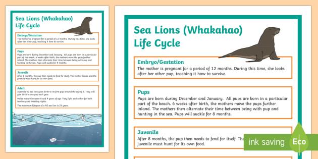 NZ Sea Lion Life Cycle Display Posters