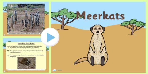 Safari Meerkat Information PowerPoint - safari, on safari, safari powerpoint, meerkat, meerkat powerpoint, meerkat information powerpoint, meerkat facts