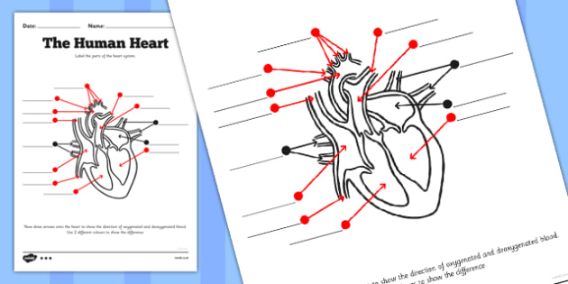 The Human Heart Labelling Worksheet Human Heart Labelling
