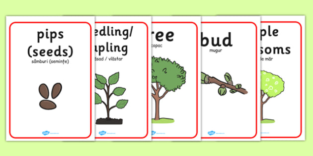 Apple Tree Life Cycle Growth Posters Romanian Translation - romanian, apple tree posters, apple tree life cycle posters, apple tree growth posters, posters, display posters