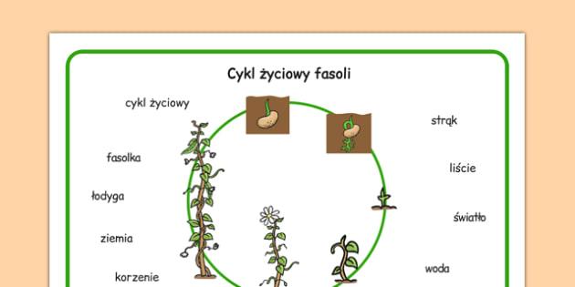 Plansza ze słownictwem Hodowla fasoli po polsku - przyroda