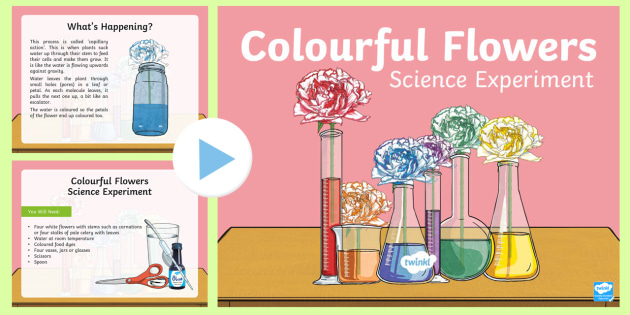 graphic about Celery Experiment Printable Worksheet identified as Colorful Bouquets Science Experiment PowerPoint - Capillary