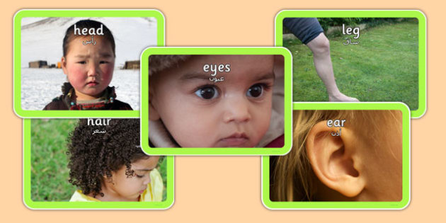 Parts of the Body Photo Pack Arabic Translation - arabic, parts, body, photo pack, photo, display