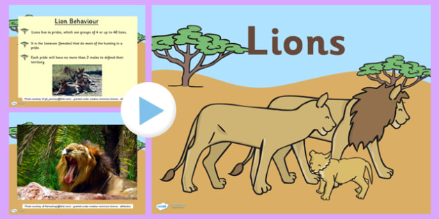 Safari Lion Information PowerPoint - safari, on safari, safari powerpoint, lions, lion, lion powerpoint, lion information powerpoint, lion facts powerpoint