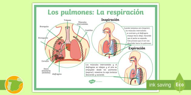 La Respiracion En El Ser Humano: * NEW * Póster: Los Pulmones Y El Proceso De Respiración