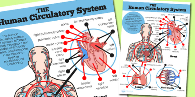 Animals including humans identify and name the main human body heart lungs and blood vessels display poster ccuart Images