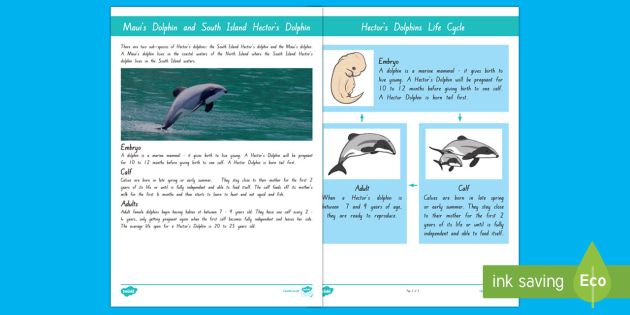 hectors and mauis dolphin life cycle display posters