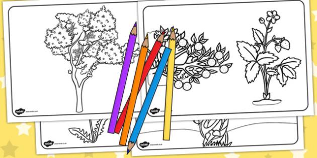 Plant Colouring Sheets - Australia, Plant, Colouring, Sheets