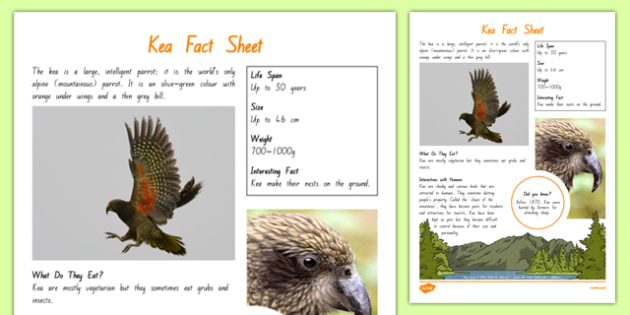 New Zealand Native Birds Kea Fact Sheet - nz, new zealand, Native, birds, animals