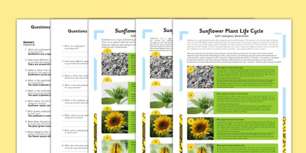 Sunflower Plant Life Cycle Differentiated Reading Comprehension Activity Polish Translation - polish, sunflower, plant, lice cycle, reading, comprehension, activity