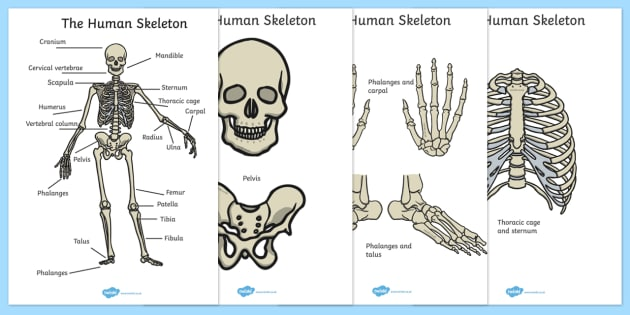 Human Skeleton Cut Outs Scientific Names - human, skeleton, cut