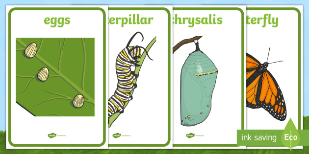 Life Cycle of a Butterfly Display Posters - Butterfuly ...