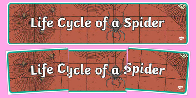 Spider Life Cycle Display Banner - spider banner, life cycle of a spider banner, display, banner, display banner, spider life cycle banner, spider