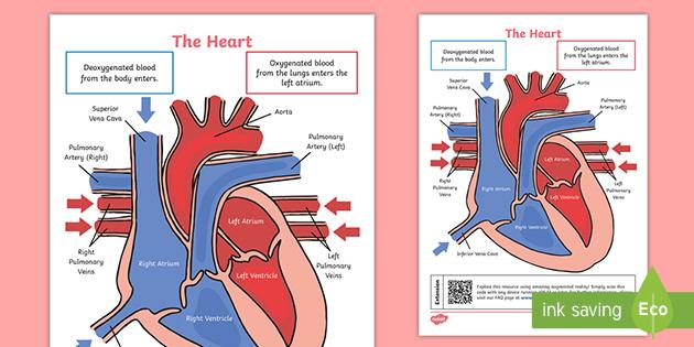 Ks2 Heart Diagram Qr Labelling Activity - Science