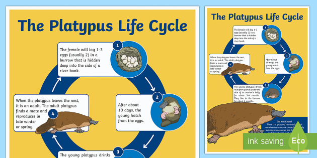 Life Cycle of a Platypus Display Poster - Australian Curriculum Biological sciences, platypus, lifecycles, life cycle, life cycle platypus, Au