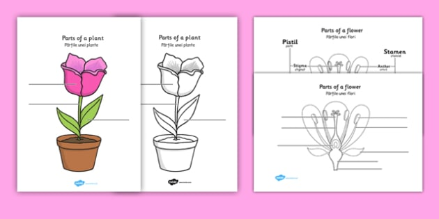 Parts of a plant and flower labelling worksheet romanian parts of a plant and flower labelling worksheet romanian translation romanian parts of a ccuart Gallery
