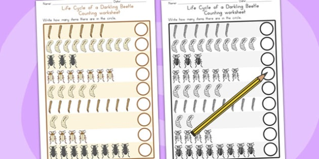 Darkling Beetle Life Cycle Counting Worksheet - count, maths