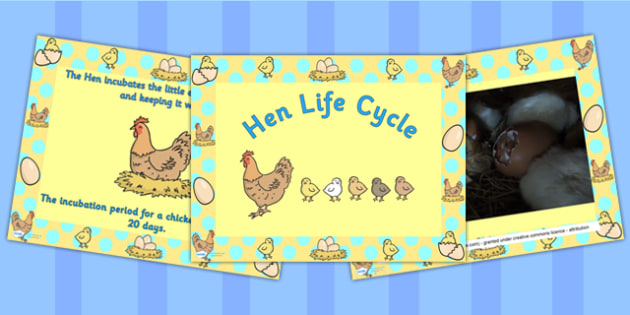 Hen Life Cycle PowerPoint - australia, hen, life cycle