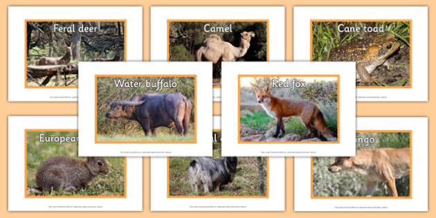 Introduced Animals in Australia Display Photos - australia, animals, introduced