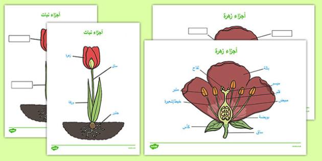 أجزاء النبات - النبات، وسائل تعليمية، موارد تعليمية، عربي