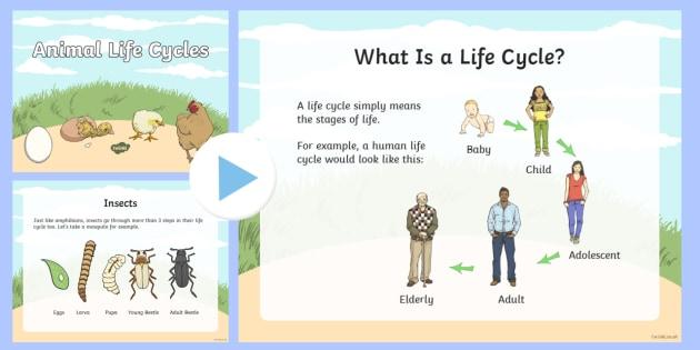 Animal Life Cycles PowerPoint - Great Canadian Animals, Canada, animals, insects, amphibians, mammals, life cycle