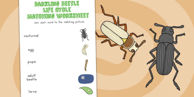 Darkling Beetle Life Cycle Word and Picture Matching Worksheet