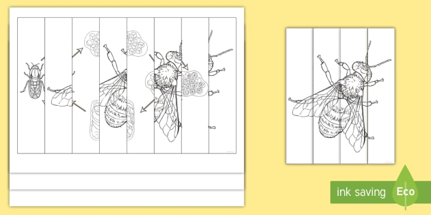 Bee Life Cycle Agamographs Colouring Pages (teacher made)