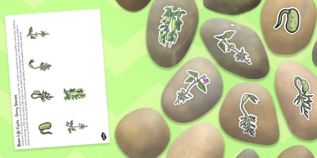 Life Cycle of a Bean Story Stone Image Cut Outs - story stone, bean