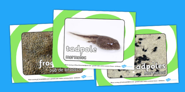 Life Cycle Of A Frog Display Photos Romanian Translation - frogs