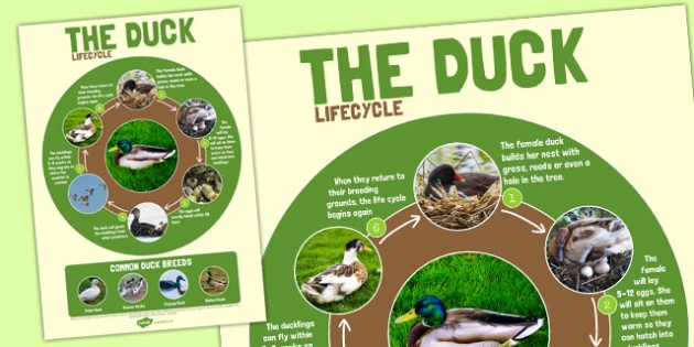 Duck Life Cycle Large Poster - duck, life cycle, cycle, poster